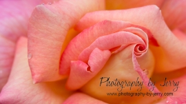 Pink and Orange Rose
