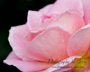A pink rose with a touch of yellow at the base.