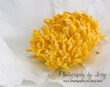 Yellow on white Peony